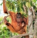 Anonymous-Orangutans-in-a-tree-33655