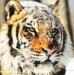 Anonymous-Siberian-tiger-in-a-snow-33654